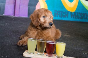 goldendoodle and beer flight